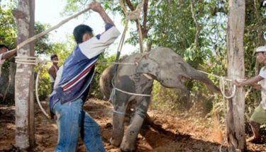 ہاتھیوں کی سیاحت کا تاریک پہلو