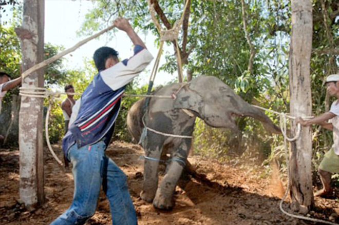 The dark side of elephant tourism and why you should never ride one.