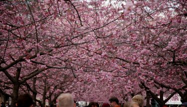 سویڈن کے دارالحکومت میں چیری کے پھول کھلنے کا تہوار