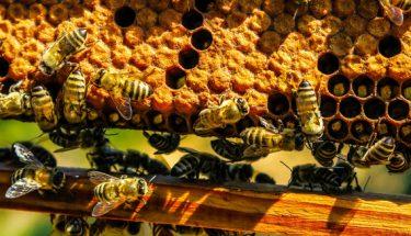 شہد کی مکھی کے بارے میں دلچسپ حقائق